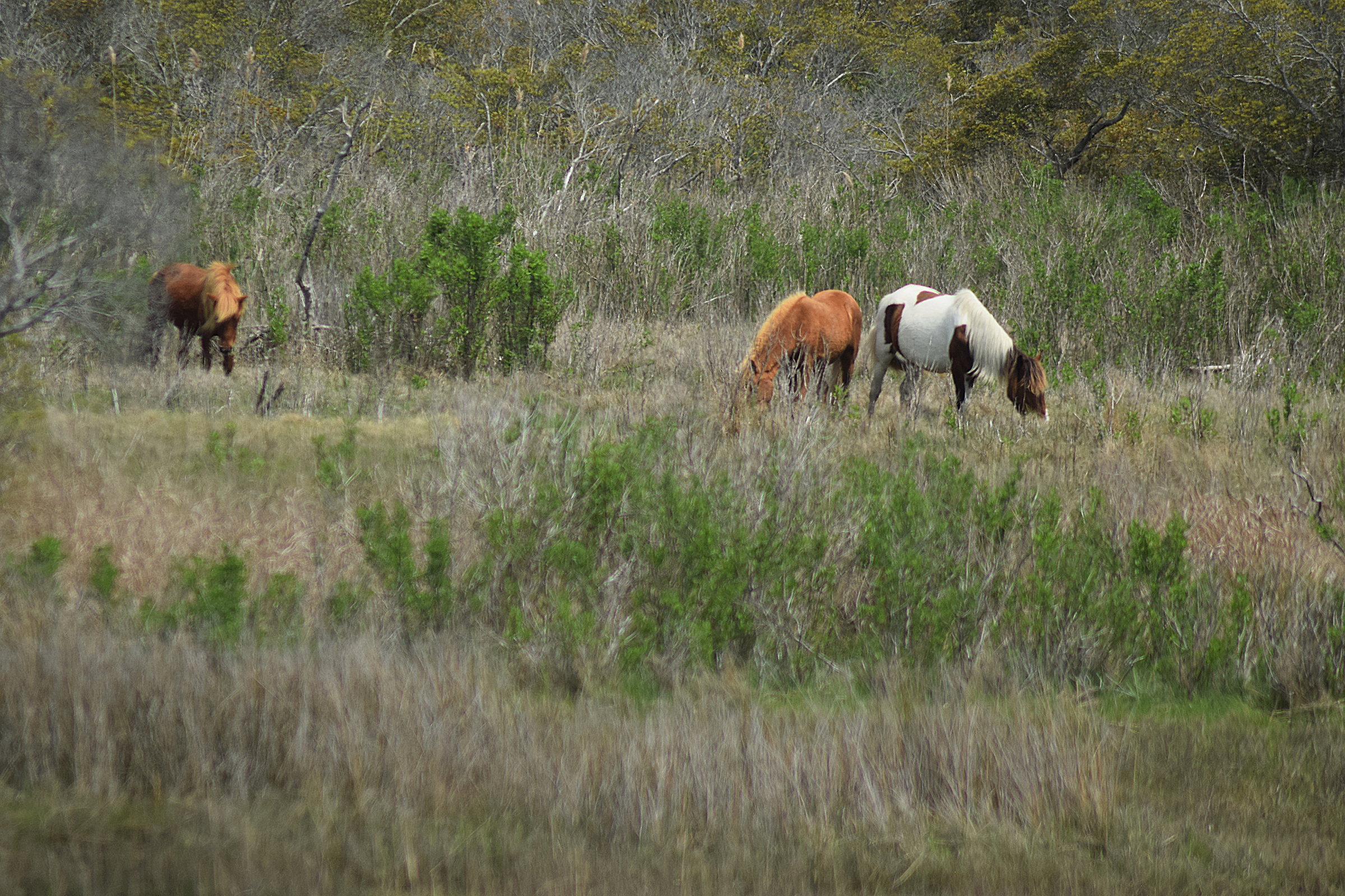 Assateague Island National Seashore horses