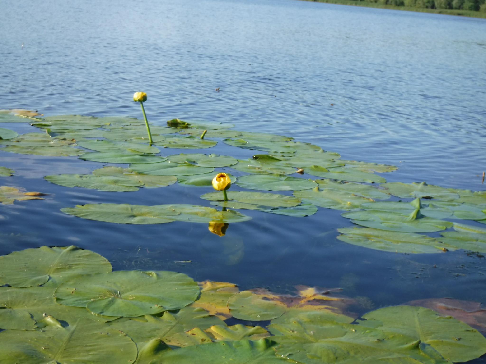 Lily pad at mendon ponds taken while kayaking from my sea eagle 330 kayak